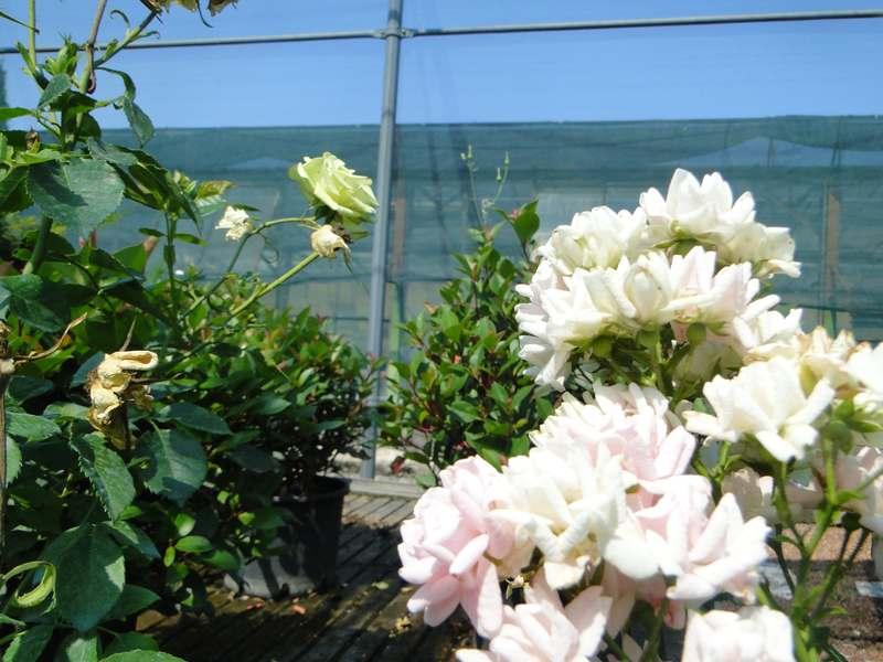 fioreria-brembati-piante-fiori-vasi-1