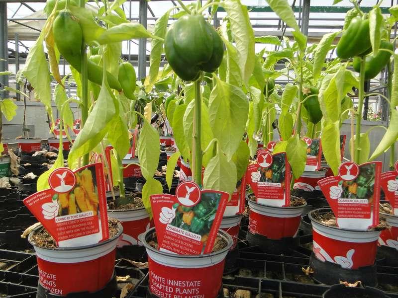 fioreria-brembati-piante-fiori-vasi-5